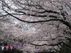 Bonborisakura2_20120410