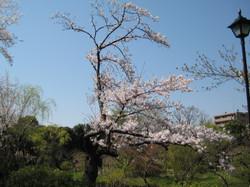 Sakura2_20120409