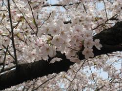 Sakura2_20120410