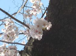 Sakura3_20120409