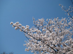 Sakura4_20120409