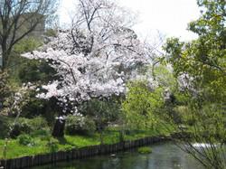 Sakura5_20120409