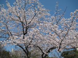 Sakura_20120409