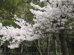 Sakura_20120410