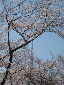 Sakuratree_20120409