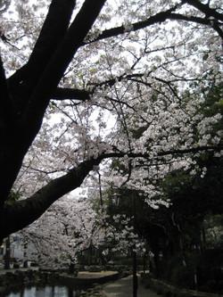 Shinsuisakura2_20120410