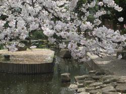 Shinsuisakura3_20120410