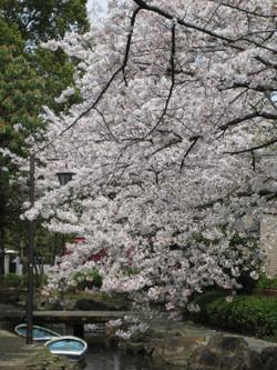 Shinsuisakura4_20120410