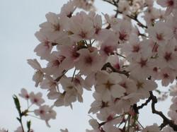 Someiyoshino2_20120410