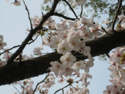 Someiyoshino_20120410
