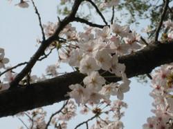 Someiyoshino_20120410