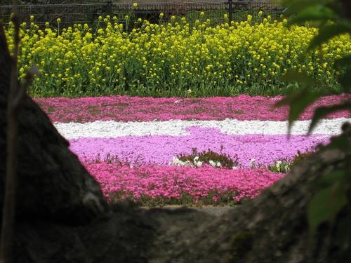 Nanohanashibasakuraki_20120413_2