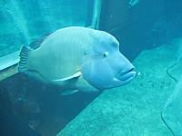 Napoleonfish120809