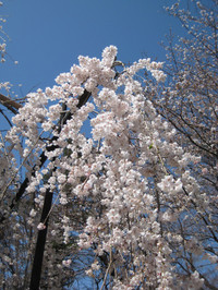 Fusehimesakura2_130321