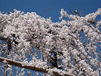 Fusehimesakura3_130321