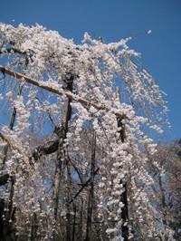 Fusehimesakura5_130321