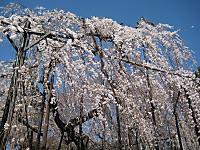 Fusehimesakura6_130321