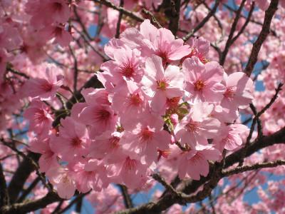 Pinksakura_130322