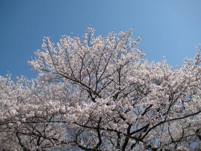 Sakuradoori2_130322