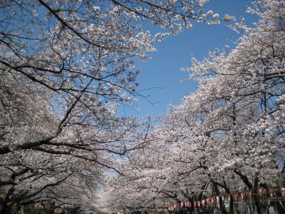 Sakuradoori_130322