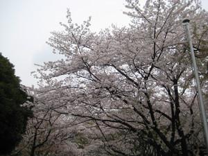 Sakuranamiki_130329_2