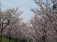 Senbonsakura1_140401