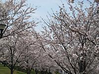 Senbonsakura3_140401
