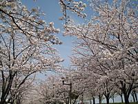 Senbonsakura4_140401