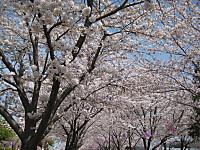 Senbonsakura5_140401