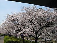 Sennbonnsakura7_140401