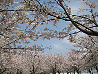 Sennbonnsakura8_140401