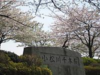 Sennbonnsakura_140401