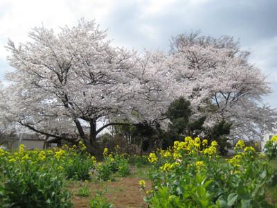Someiyoshinonanohana_140402
