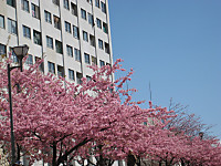Kawazusakura2_150311