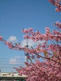 Kawazusakuraskytree_150311_2