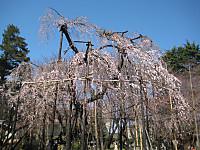 Fusehimesakura_150326