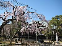 Tozenjiedohigansakura_150326