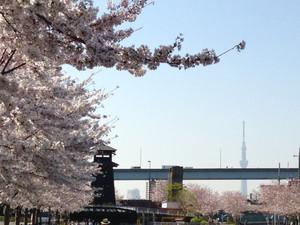 Hinomiyaguraskytree_150331