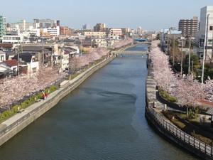 Sinkawasenbonsakura_150331