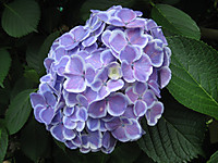 Purplewhite_150604