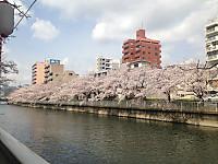 Sakura1_20170406