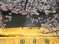 Sakura2_20170406