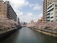 Sakura3_20170406