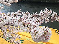 Sakura8_20170406