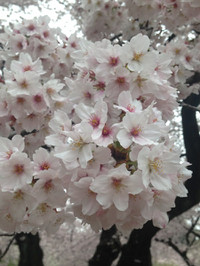 Gyoensomei_20170408