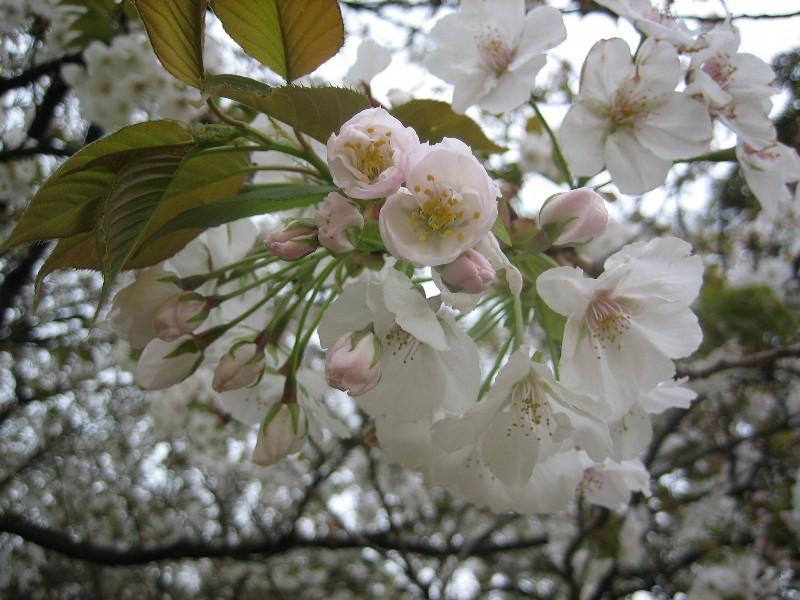 Sakura2007_2