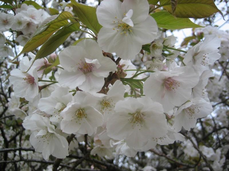 Sakura2007_4_1